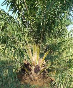 L'huile de palme et le palmiste